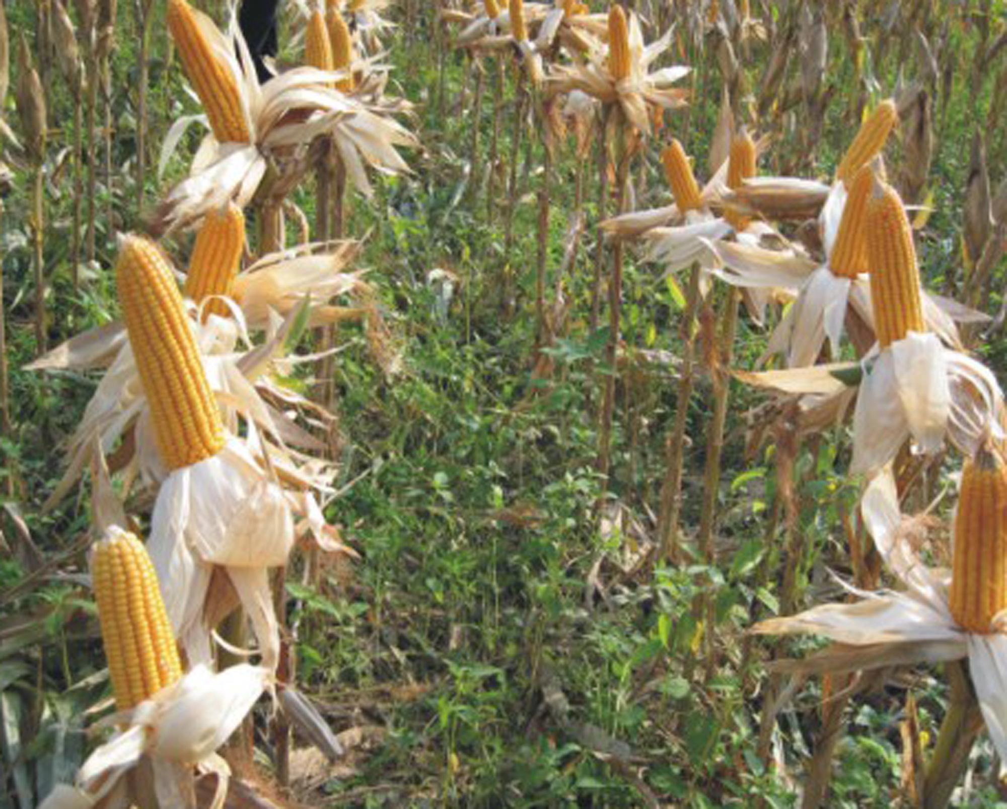 Ngô mùa thu hoạch