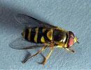 Dịch vụ diệt ruồi vàng