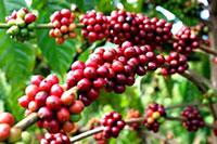 Cà phê hạt