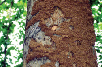 Diệt mối hại cây
