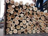 gỗ tràm bông vàng