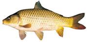 Cá chép sông