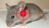 Dịch vụ diệt chuột chuyên nghiệp