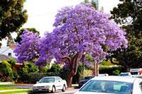 Cây hoa phượng tím