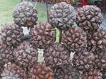 Quả Dừa Nước