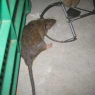 Diệt chuột hiệu quả