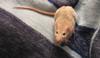 Diệt và phòng chống chuột cho hộ gia đình
