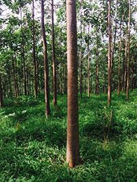 Cây gỗ Paulownia