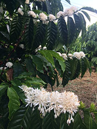 Vườn cà phê