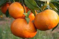 Cây cam giống