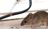 Dịch vụ diệt chuột tại nhà