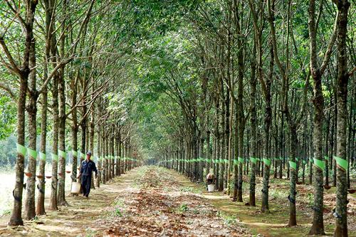 Vườn cây cao su