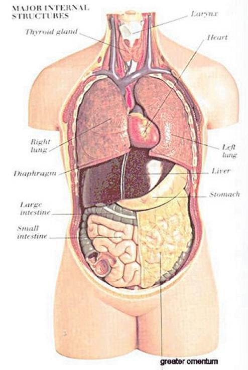 Mô hình giải phẫu