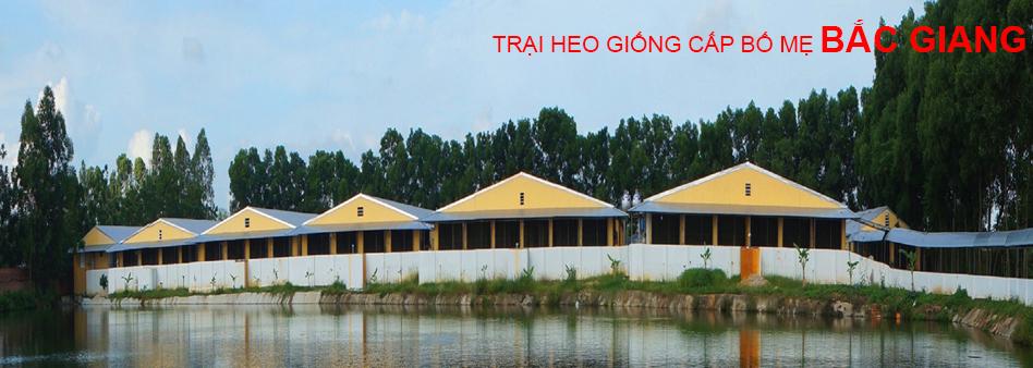 Trại heo giống cấp bố mẹ Bắc Giang