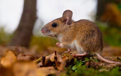 Diệt chuột cho căn hộ chung cư