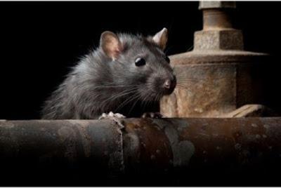 Diệt chuột cho nhà hàng, siêu thị