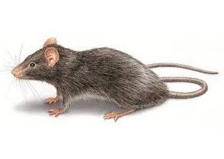 Diệt chuột cho nhà riêng