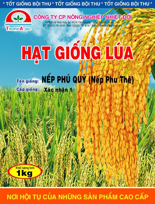 Lúa nếp Phú Quý