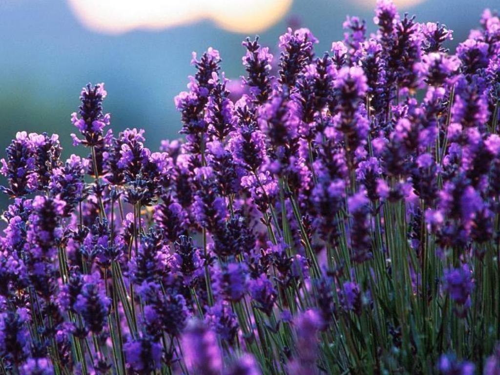 Hương hoa oải hương