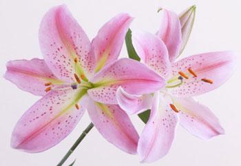 Hương hoa lily
