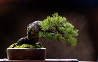 Bonsai mini