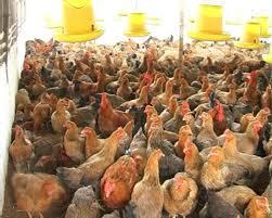Chế phẩm EMUNIV khử mùi trại gà