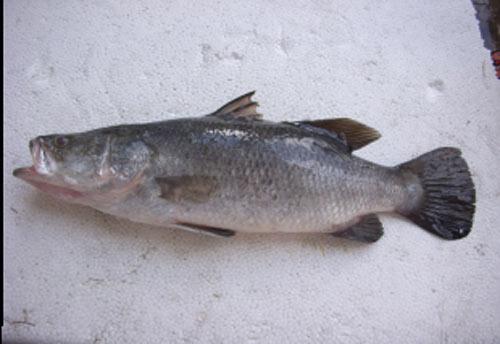 Cá chẽm tươi cắt khúc