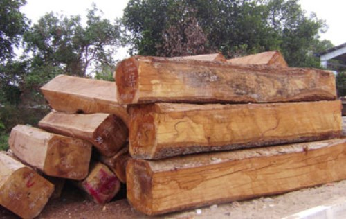 Khai thác gỗ hương