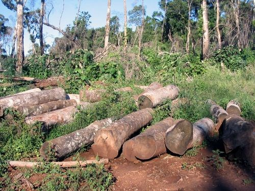 Khai thác gỗ rừng