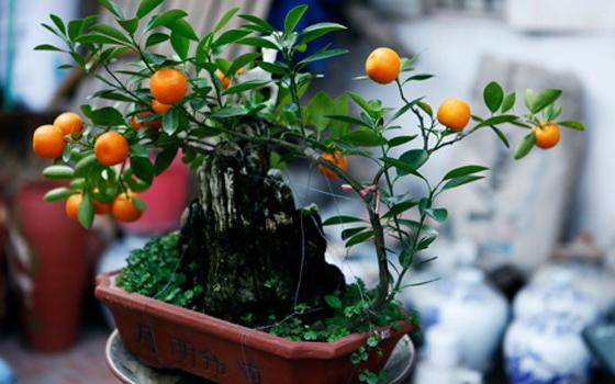 Quất Bonsai mini
