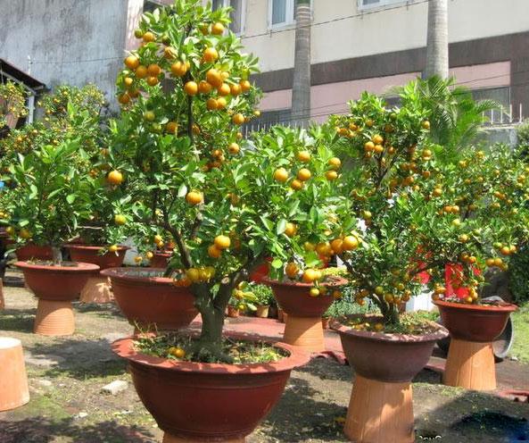 Quất thế bonsai tại vườn