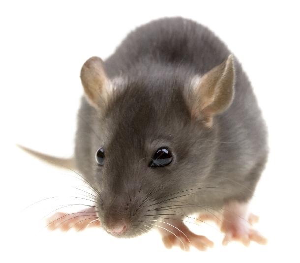 Diệt và phòng chống chuột cho cơ quan, doanh nghiệp