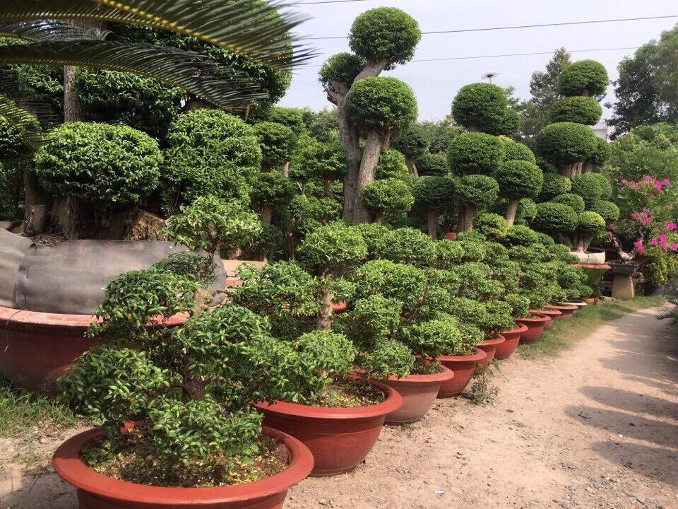 Hình ảnh cây cảnh