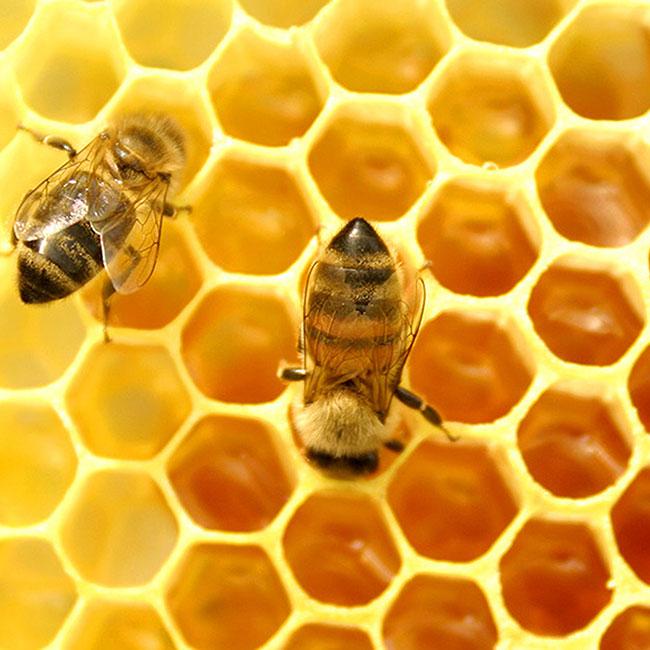 Mật ong Tam Đảo