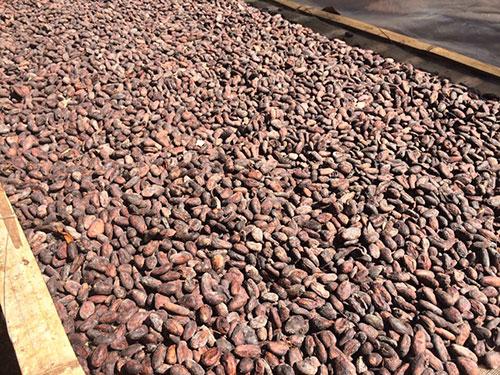 Cacao phơi khô