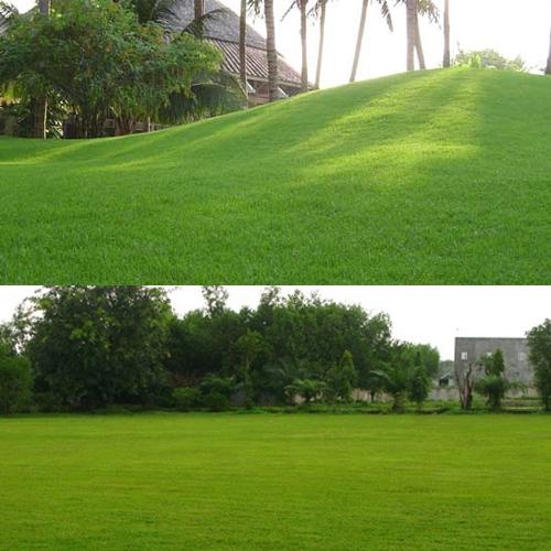 Cỏ nhung, cỏ nhung nhật