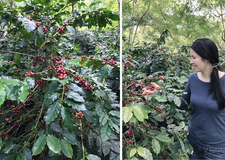 Vùng nguyên liệu cà phê