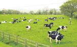 Hỗn hợp enzymes xử lí phân bò