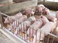 Hỗn hợp Enzymes Maxigest cho lợn