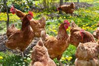 Hỗn hợp Enzymes Maxigest cho gà