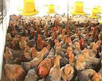 Chế phẩm EM EMUNIV khử mùi trại gà
