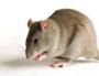 Diệt chuột bằng vi khuẩn