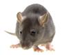 Diệt và phòng chống chuột cho cơ quan doanh nghiệp