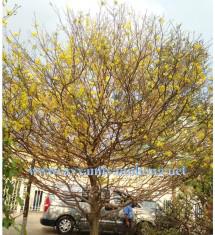 Cây mai bonsai gốc cổ thụ
