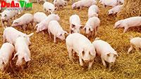 Dự án trang trại chăn nuôi heo thịt