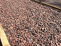 Cacao nguyên liệu
