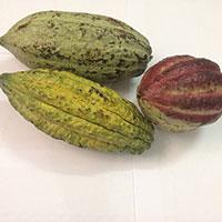 Cacao hạt thô