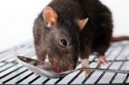 Dịch vụ diệt chuột cho nhà hàng