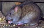 Dịch vụ diệt chuột cho nhà máy