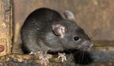 Dịch vụ diệt chuột cho trường học